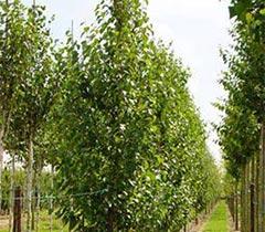 Boomkwekerij Frowein - Inheemse bomen