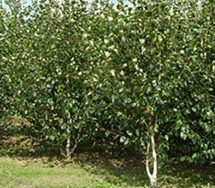 Boomkwekerij Frowein - Solitairen en coniferen