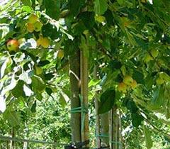 Boomkwekerij Frowein - Fruitbomen